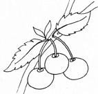 Ciliegie for Disegni da colorare ciliegie