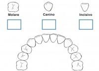 attivita denti