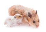 Riproduzione e cuccioli del criceto