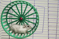 hamster running in the wheel.