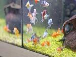 L'acquario per i pesci rossi