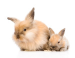 Riproduzione e cuccioli del coniglio nano