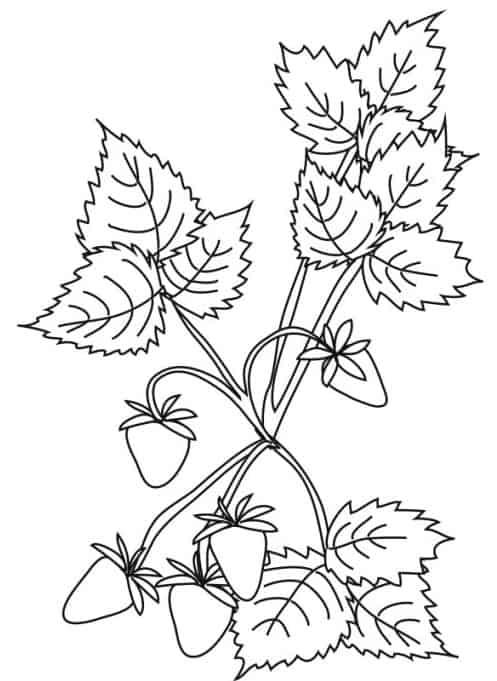 Fragoline Di Bosco Da Colorare Cose Per Crescere