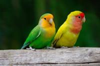 Pappagalli e pappagallini