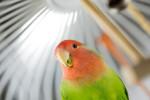 Scegliere un uccello domestico