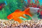 Alimentazione dei pesci rossi
