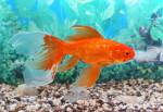 Prendersi cura di pesci rossi