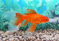 Animali per bambini cose per crescere for Pesci rossi piccoli