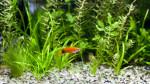 Quali piante nell'acquario dei pesci rossi?