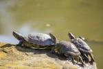 Specie di tartaruga d'acqua dolce più comuni