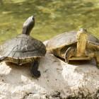 La tartaruga d'acqua