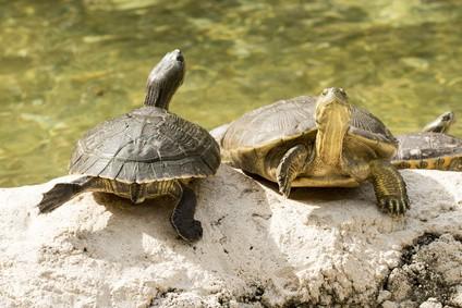 Tartaruga d'acqua dolce
