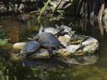 Alimentazione della tartaruga d'acqua dolce