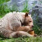 Salva la foresta del grande orso