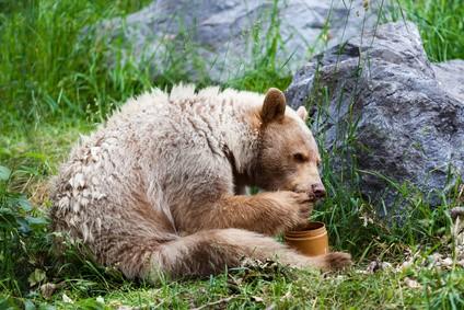 Orso kermode - orso spirito