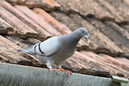 purebreed pigeon on roof