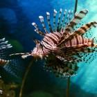 E' arrivato in Italia il pesce scorpione!