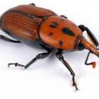 La FAO in campo contro l'insetto