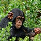 Lo scimpanzé liberato dall'uomo
