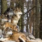 Il lupo si estingue: perché?