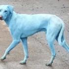 India: i cani diventano blu