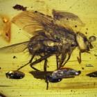 Scoperta la mosca più antica del mondo