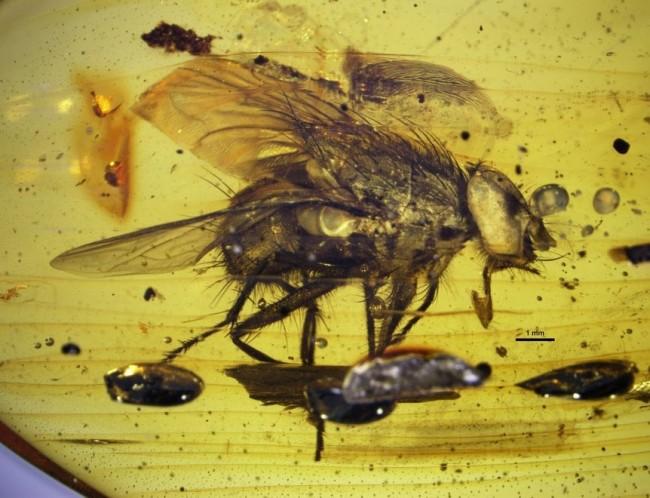 mosca antica
