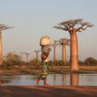 La morte dei baobab è misteriosa