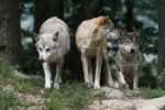 Viva i lupi
