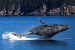 Riapre la caccia alle balene…