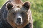 La grande fuga dell'orso