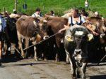 Mucche al pascolo, bel viaggio